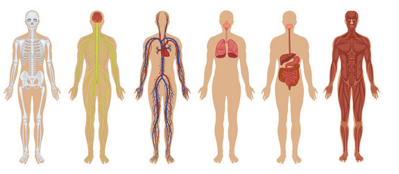 the human body: anatomy, facts & functions ! | science informations, Muscles